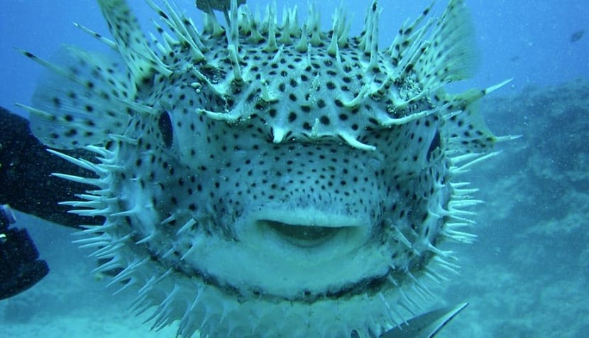 sistema defensivo del pez globo