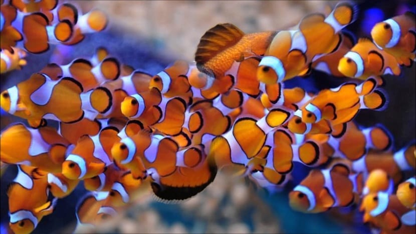 sociedad de peces payaso