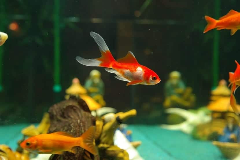Algunos peces tropicales de agua dulce