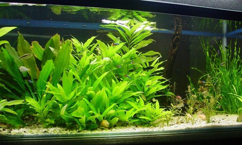 plantas necesarias para los peces tropicales
