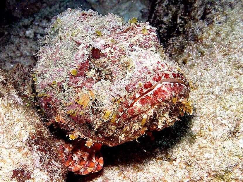 Capacidad de camuflaje del pez piedra