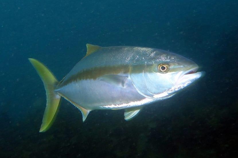pez limon en su hábitat