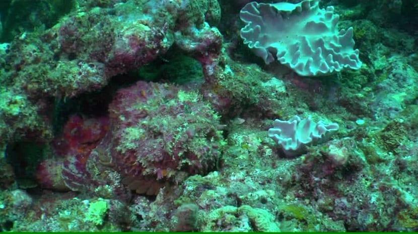 pez piedra totalmente oculto