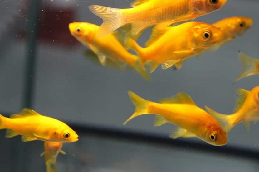 Conjunto de peces dorado en acuario