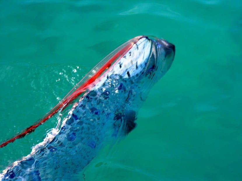 Hábitat del pez remo