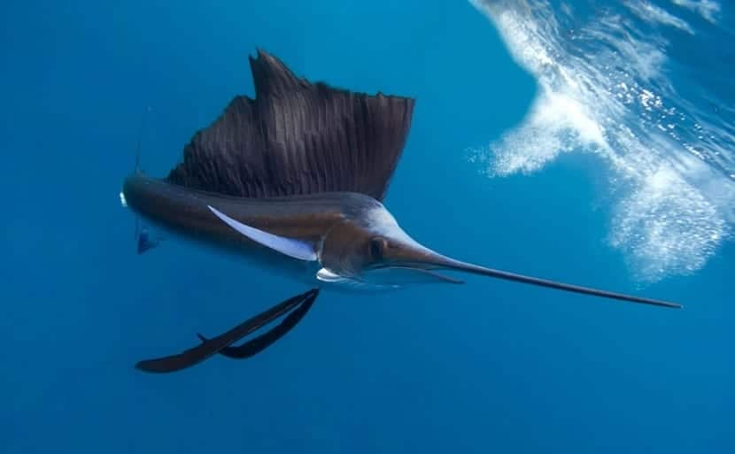 boca del pez vela