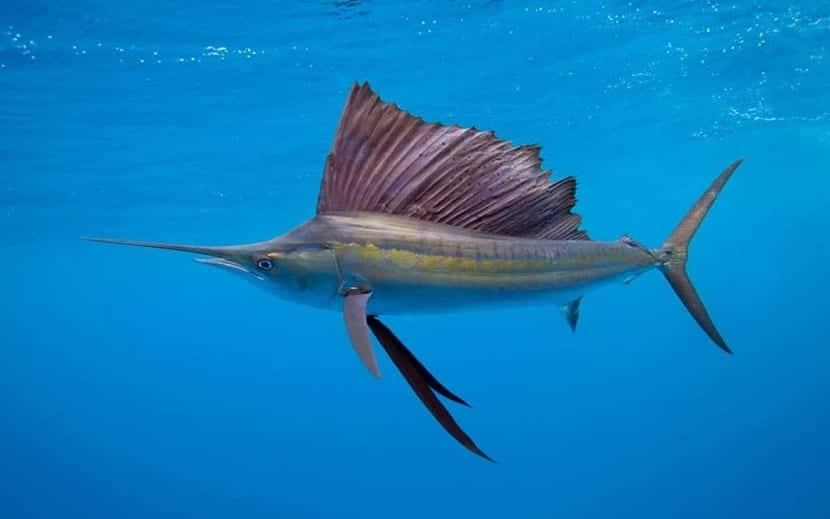 comportamiento del pez vela