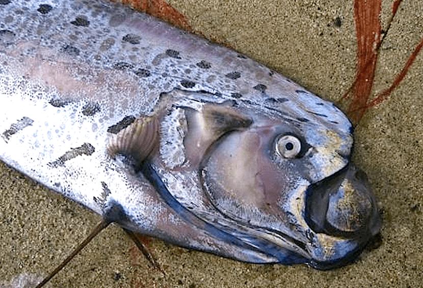 curiosidad del pez remo