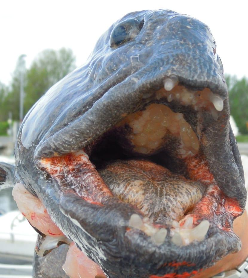 dientes del pez lobo