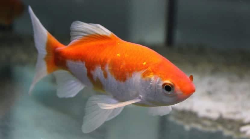 pez cometa con mezcla de colores