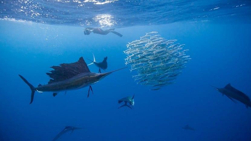 pez vela cazando a sus presas