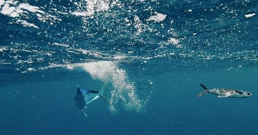 pez volador entrando en el agua tras el salto