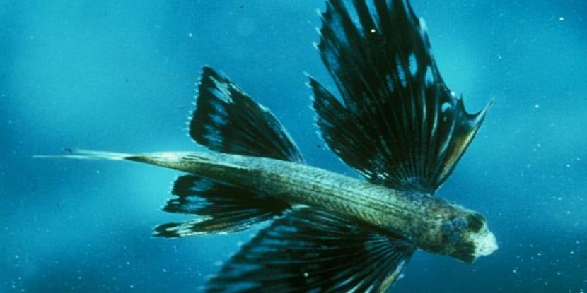 pez volador nadando dentro del agua
