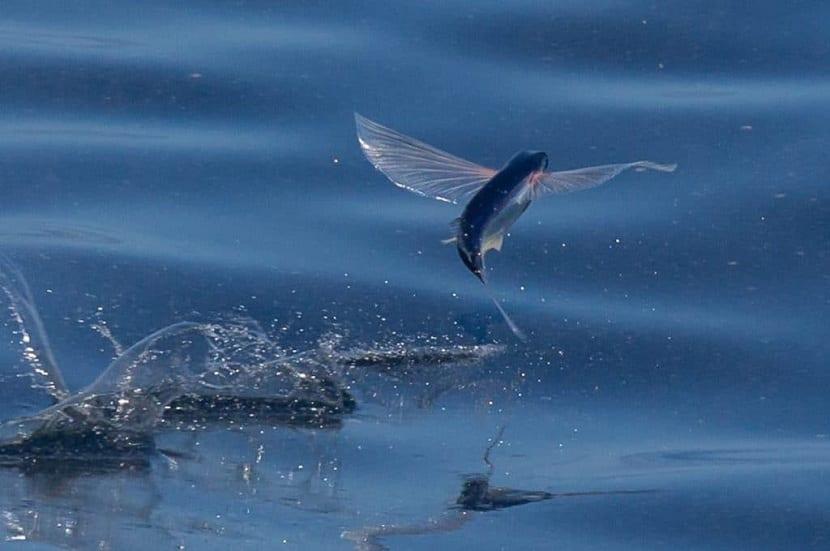 reproducción del pez volador