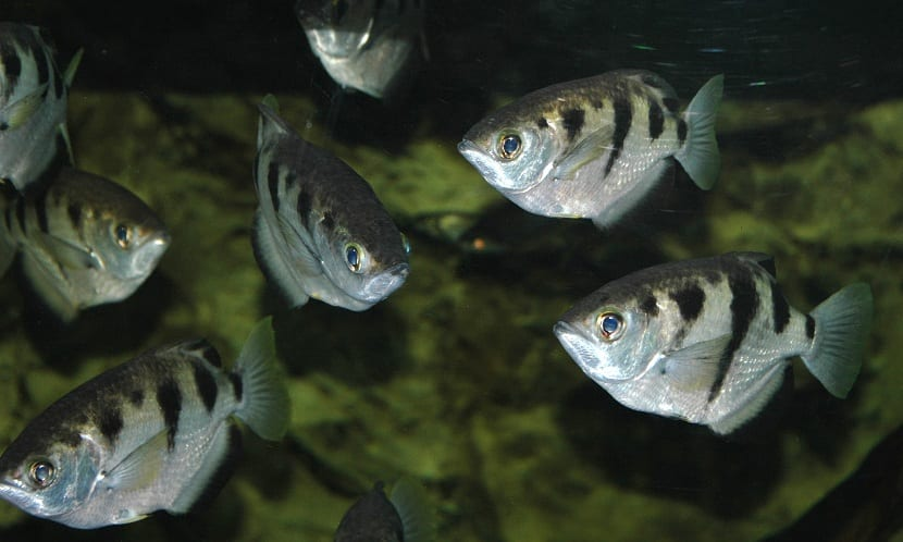 Alimentación del pez ar