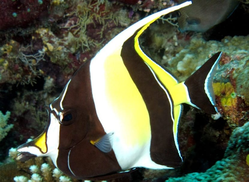 Caracterísicas del pez ídolo moro