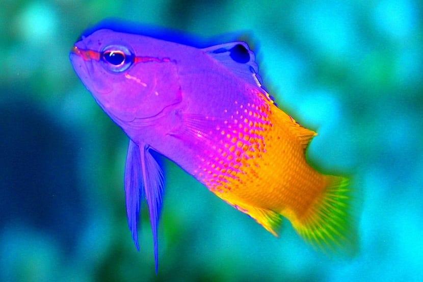 Características del pez abuela