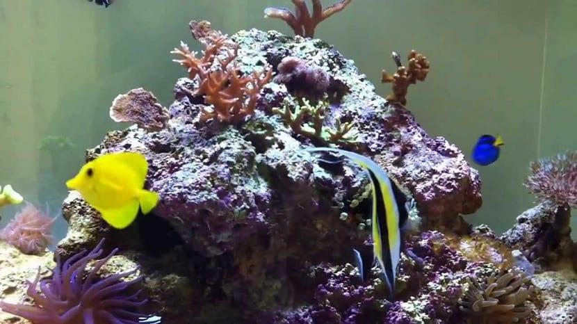 Idolo moro con otros peces en el acuario
