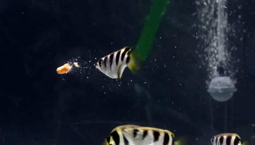 Reproducción del pez arquero