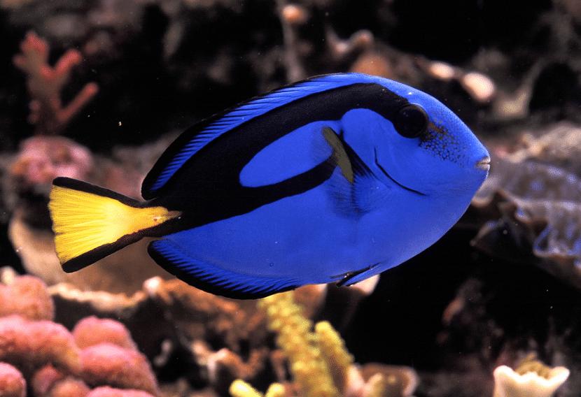 pez cirujano