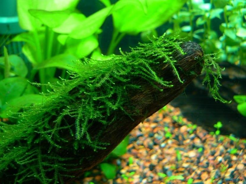 Detalle de las hojas filamentosas
