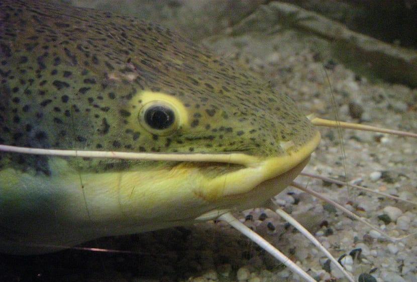 Características del pez bagre
