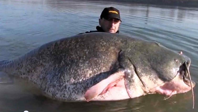 Gran pez bagre