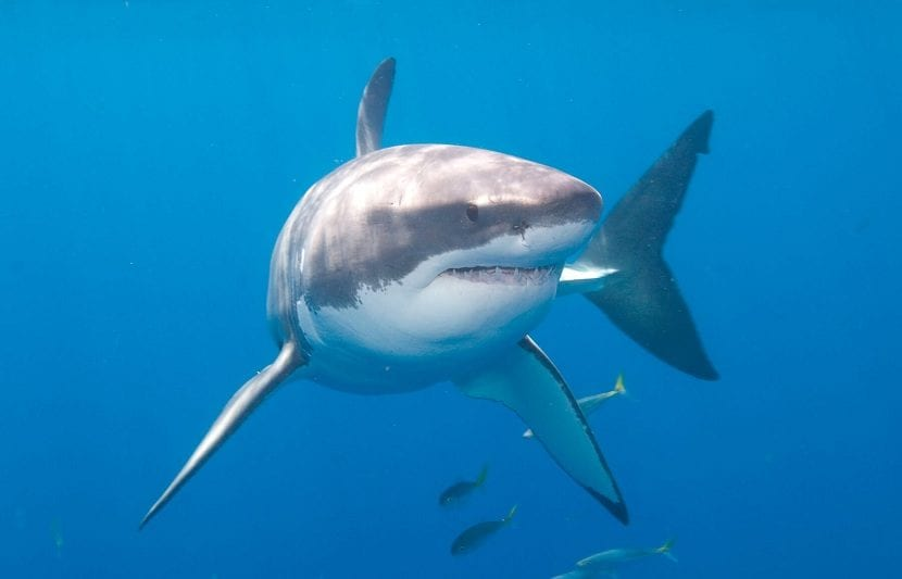 Sistema nervioso del tiburón blanco