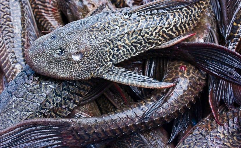 Variedad del pez bagre