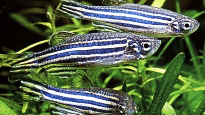 Características del pez cebra