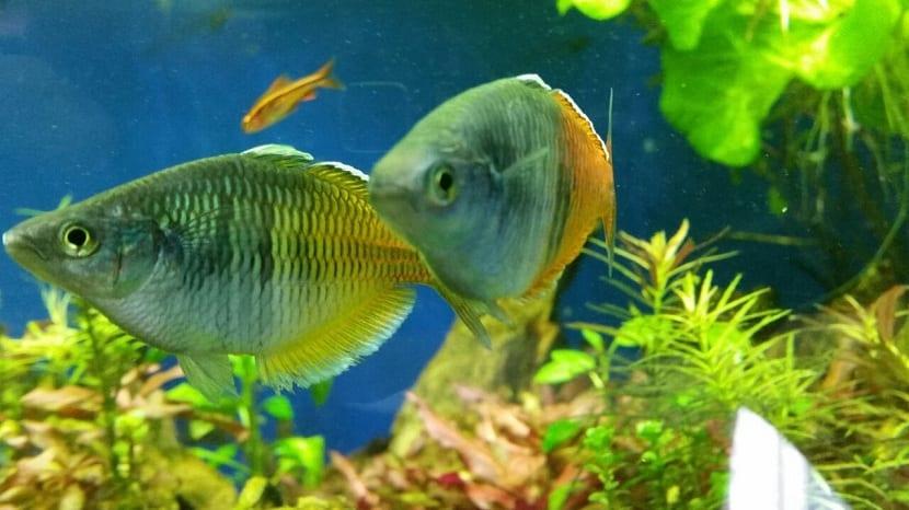 Cuidados del pez arcoíris