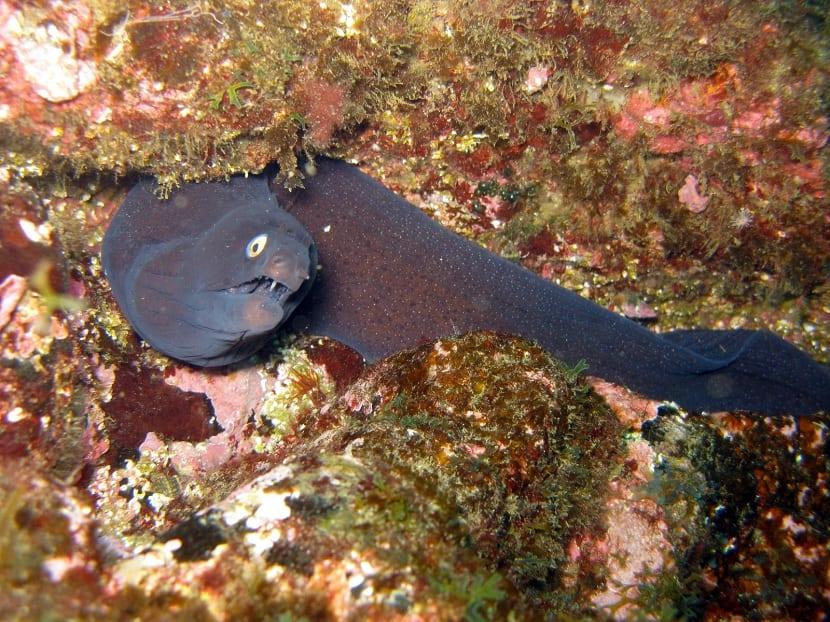 Distribución del pez morena