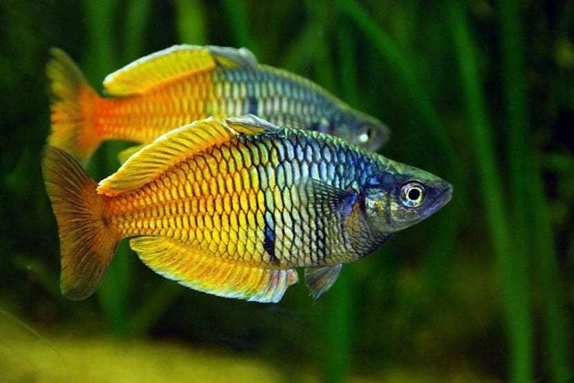 Pareja de peces arcoíris