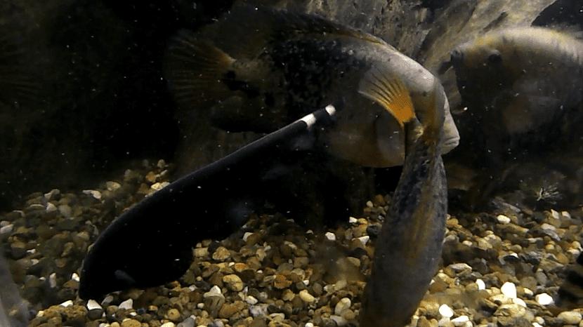 Pez morena en acuario