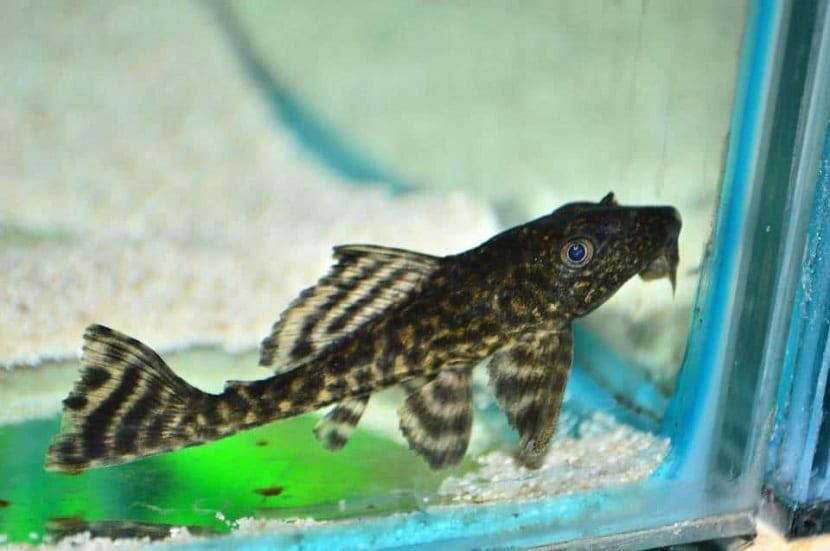 Reproducción del pez diablo