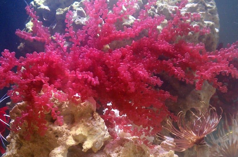 Algas rojas debajo del mar