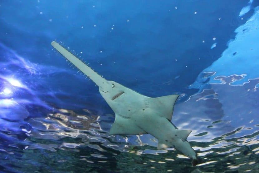 Habitat del pez sierra