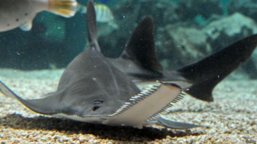 comportamiento del pez sierra