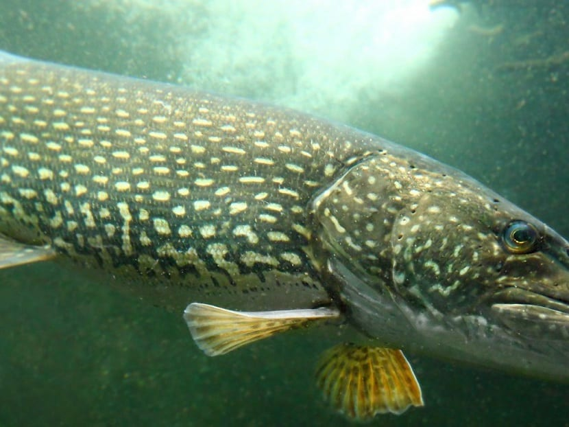 detalle del pez lucio