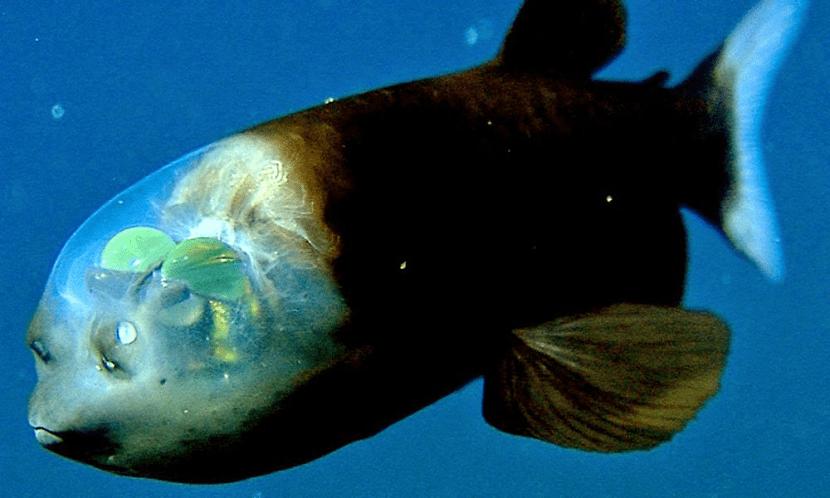 caracteristicas del pez duende