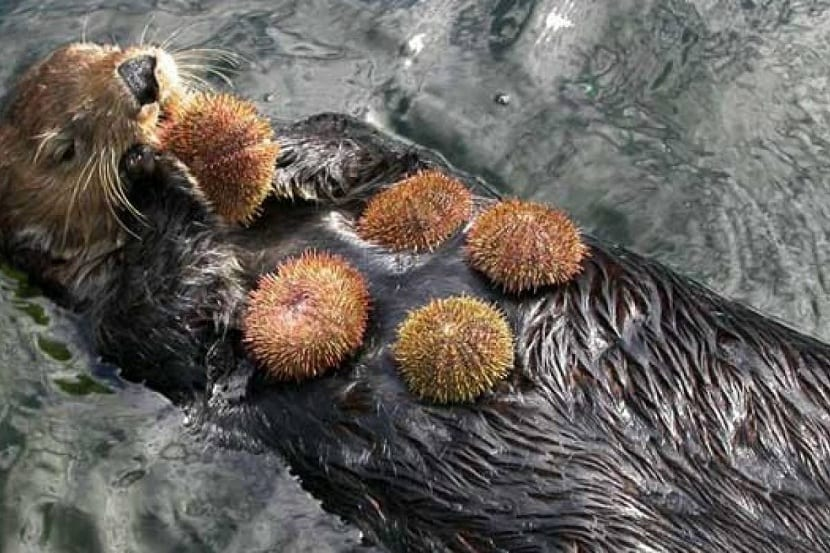 nutria marina comiendo