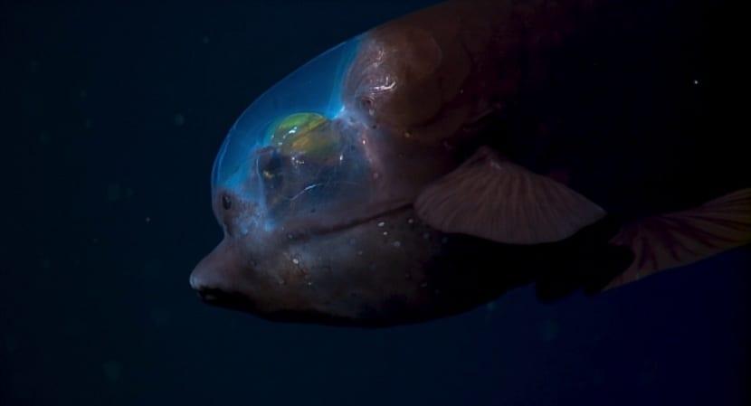 ojos unicos del pez duende