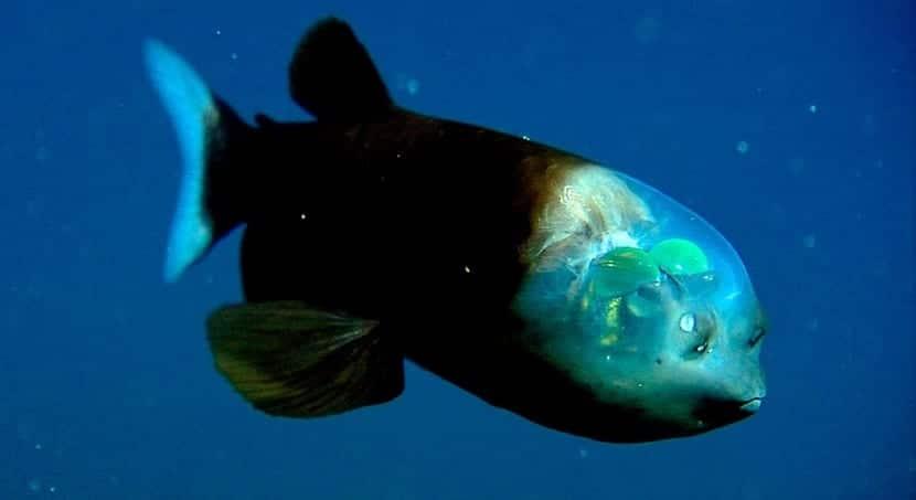 pez duende