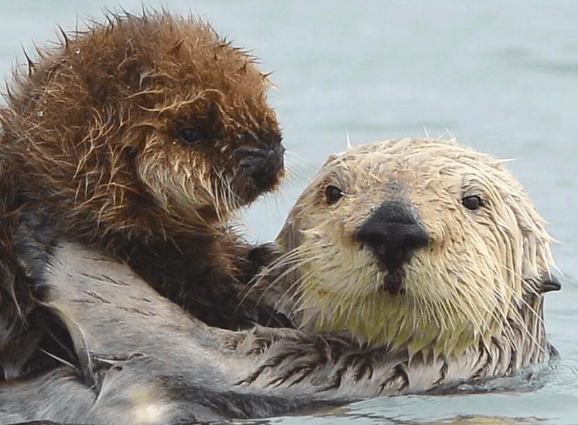 reproduccion de la nutria marina