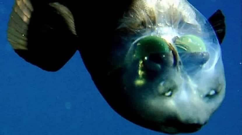 reproduccion y alimentacion del pez duende