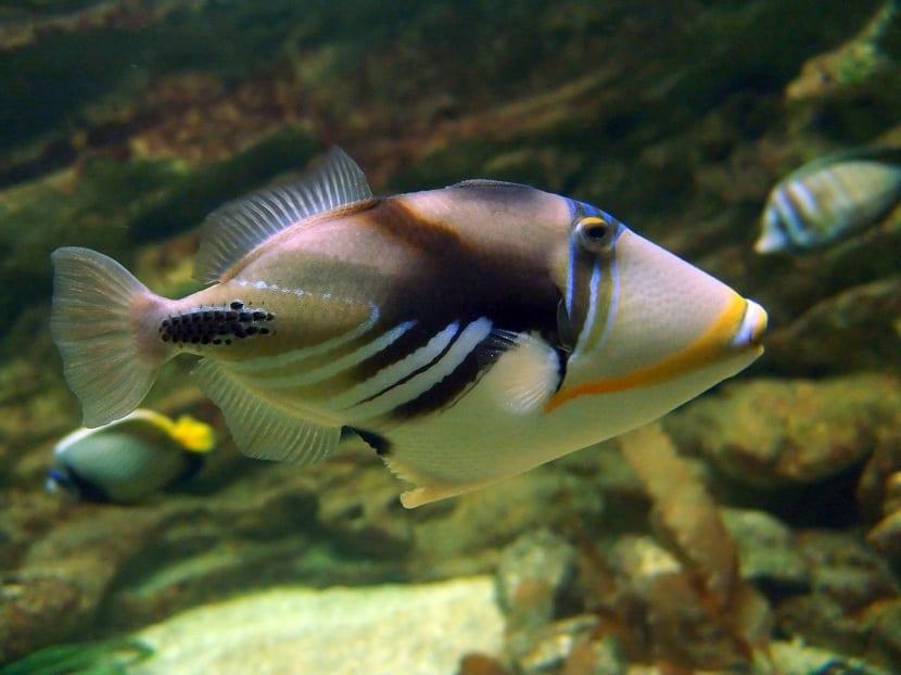 Alimentacion del pez ballesta