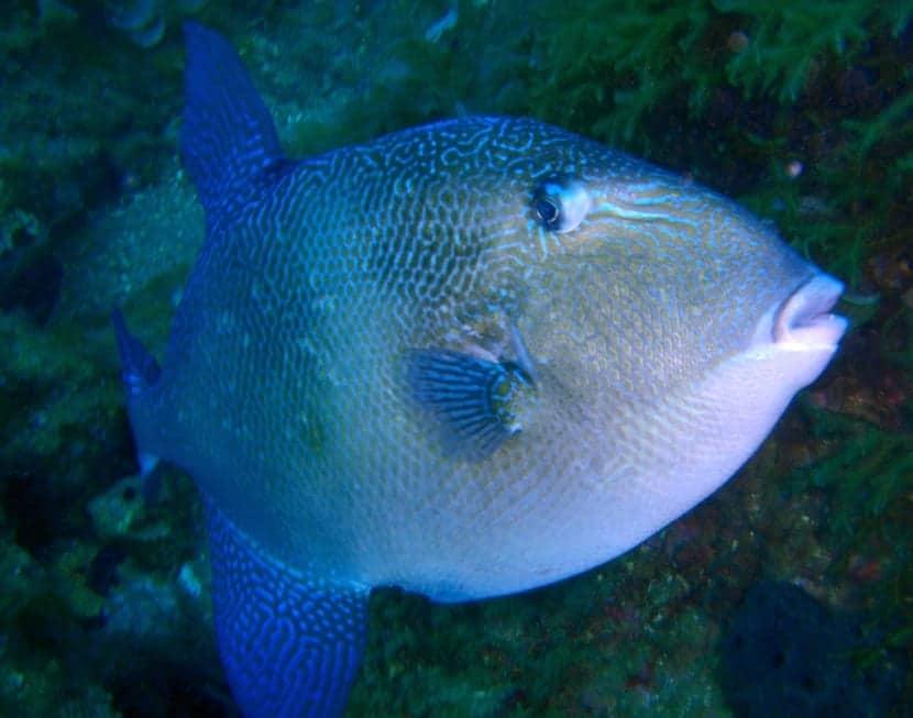 reproduccion del pez ballesta