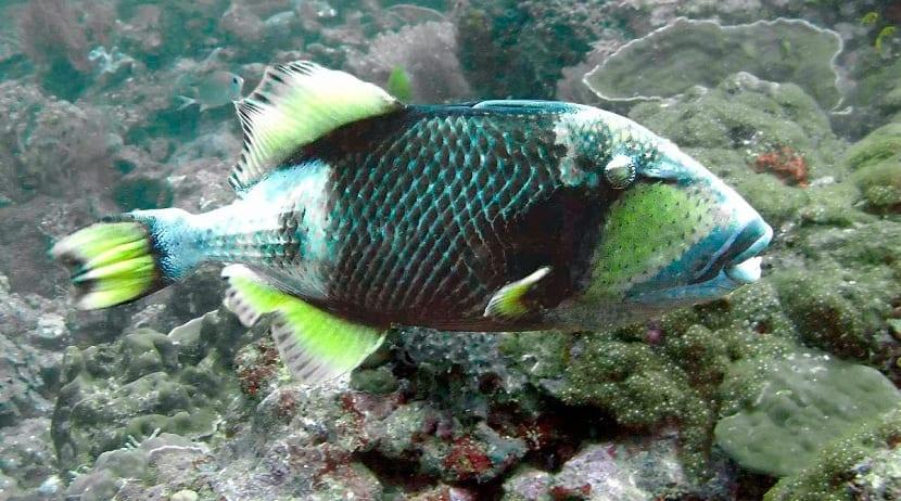 características del pez ballesta