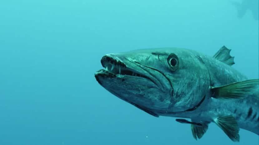 Alimentación de la barracuda
