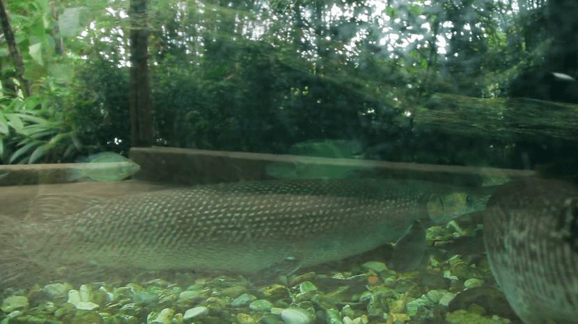Atractosteus spatula en su hábitat